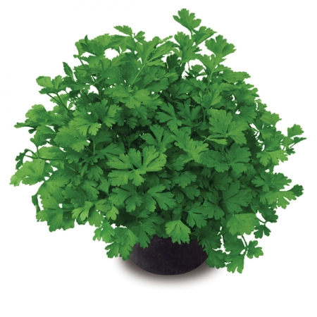 PARSLEY LAURA