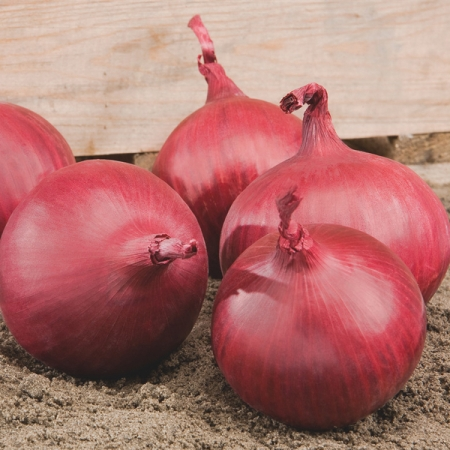 ONION RED TIDE F1