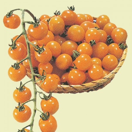 TOMATO GOLDEN CHERRY