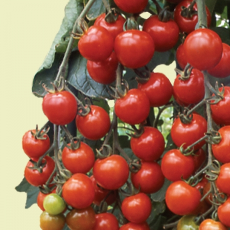 Tomato seeds tomato sun cherry premium f1 cherry tomatoes for How to grow cherry tomatoes from seeds