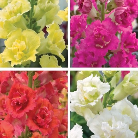 ANTIRRHINUM DOUBLE MADAME BUTTERFLY F1 MIXED