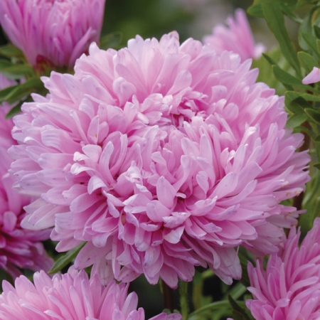 Aster Candyfloss Annual Flower Seeds
