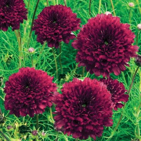 Cosmos Seeds Double Click Cranberries Annual Flowers