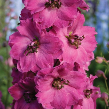Delphinium Seeds Pink Punch New Amp Featured Flowers