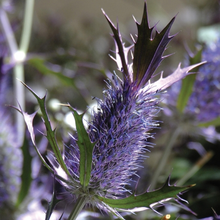 ERYNGIUM LEAVENWORTHII PURPLE SHEEN