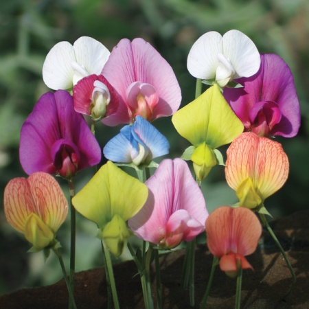 LATHYRUS ANNUAL SPECIES MIXED