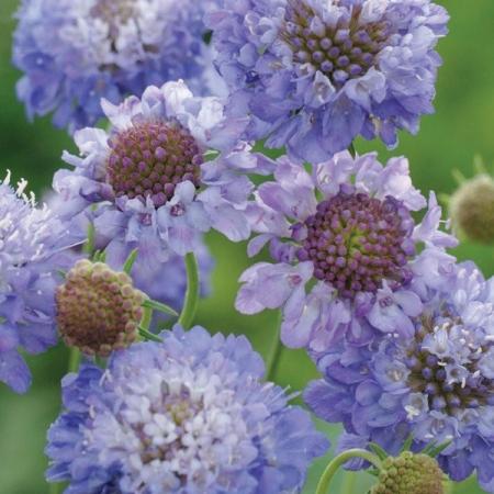 SCABIOSA OXFORD BLUE