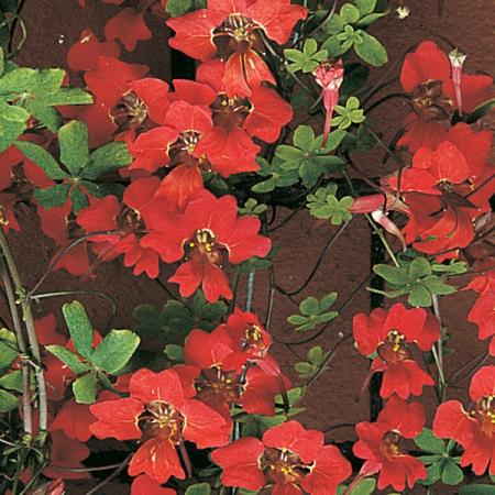 TROPAEOLUM SPECIOSUM SCOTTISH FLAME FLOWER