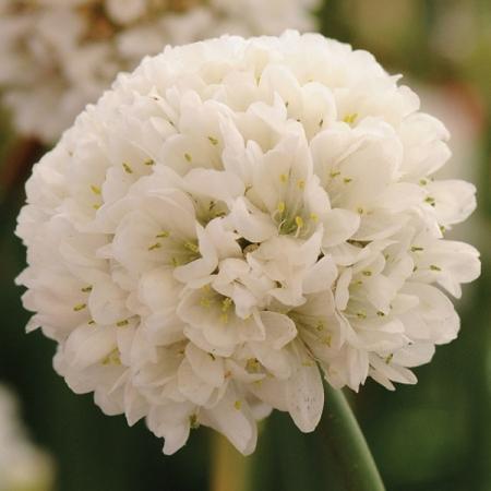 ARMERIA BALLERINA WHITE
