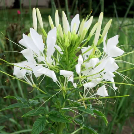 Home Flowers A Z Flowers A Z Cleome White Queen