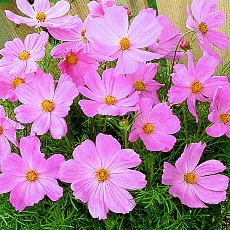 Dwarf Cosmos Seeds Sonata Pink Seeds Annual Flowers
