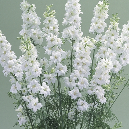 Larkspur seeds cannes white delphinium consolida hardy annual larkspur cannes white mightylinksfo