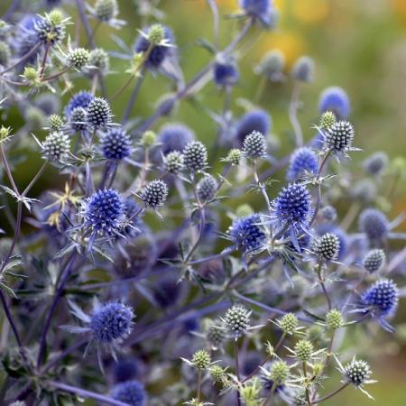 Eryngium Alpinum Sea Holly Blue Star Seeds New