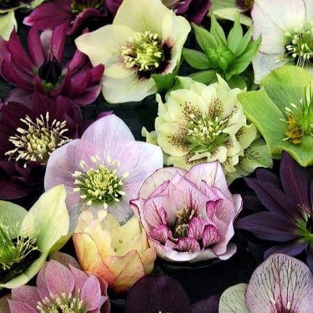 helleborus orientalis seeds newest hybrids christmas or lentern rose seeds. Black Bedroom Furniture Sets. Home Design Ideas