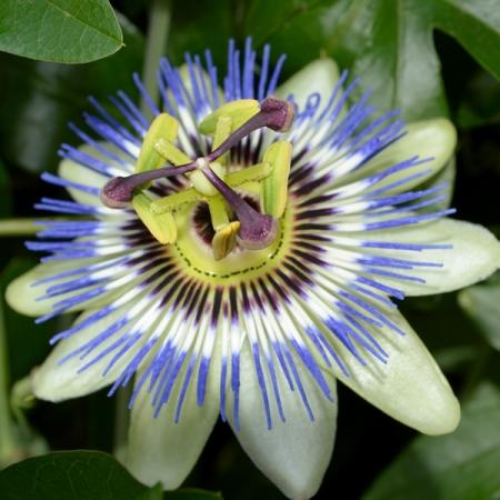 passiflora caerulea seeds common blue passion flower seeds. Black Bedroom Furniture Sets. Home Design Ideas