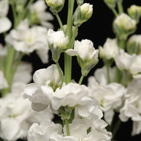 Stocks seeds white punch annual gilly flowers stocks white punch mightylinksfo
