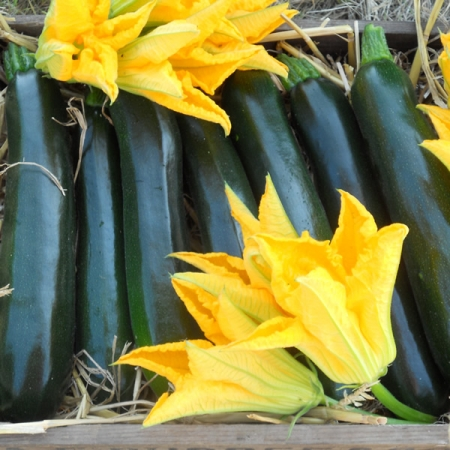 COURGETTE BRITISH SUMMERTIME F1
