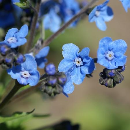 ERITRICHIUM BABY BLUE