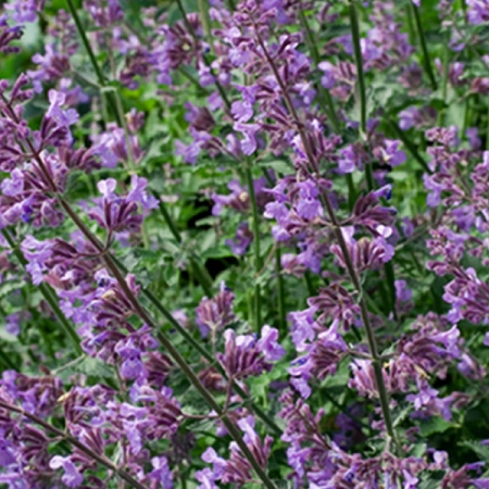 Nepeta pink cat seeds catnip nepeta cataria seeds nepeta pink cat mightylinksfo