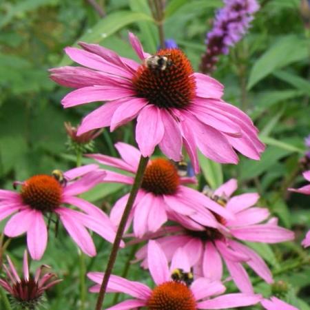 echinacea purpurea magnus perennial biennial flower seeds. Black Bedroom Furniture Sets. Home Design Ideas
