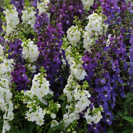 ANGELONIA SERENA WATERFALL