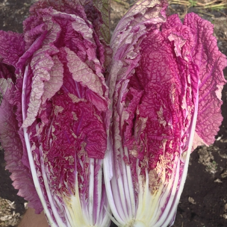 CHINESE CABBAGE SCARLETTE F1