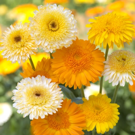 CALENDULA KINGLET MIXED