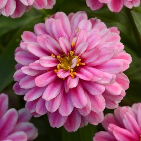Zinnia Double Zahara Raspberry Ripple Seeds New