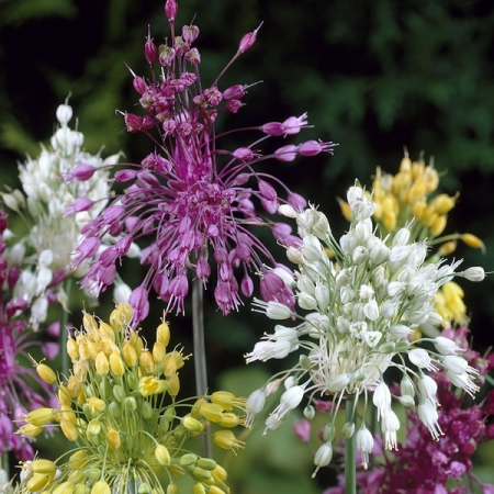 ALLIUM FIREWORKS MIXED