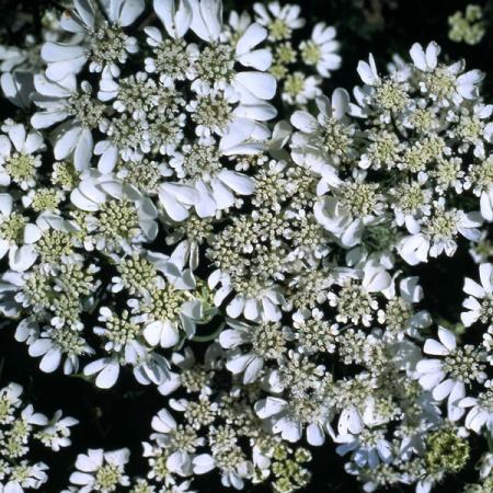 ORLAYA GRANDIFLORA WHITE LACE