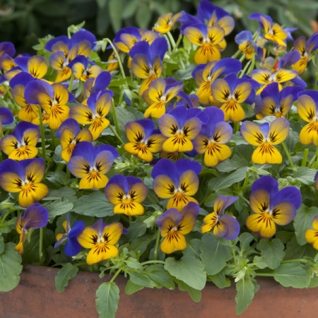 VIOLA GOLDEN BLUES F1