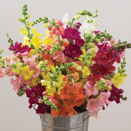 ANTIRRHINUM CHANTILLY MIXED F1