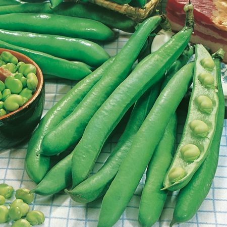 BROAD BEAN GIANT EXHIBITION