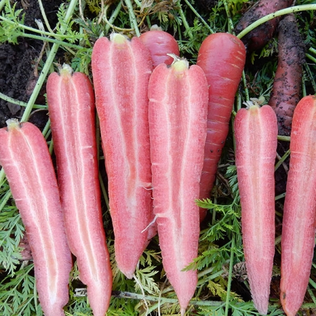 CARROT RUBY PRINCE F1