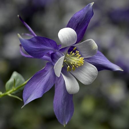 AQUILEGIA KIRIGAMI DEEP BLUE & WHITE F1