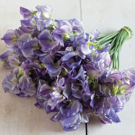 SWEET PEA BLUE RIPPLE