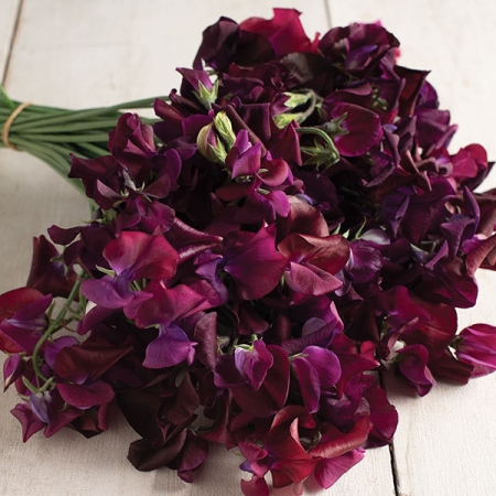 SWEET PEA MIDNIGHT
