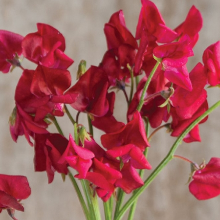 SWEET PEA ELEGANCE DEEP RED