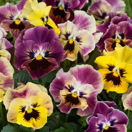 VIOLA MINI FRIZZLE SIZZLE TAPESTRY MIXED F1