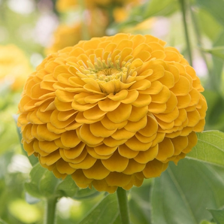 ZINNIA FLORIST GOLDEN YELLOW F1