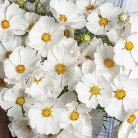 COSMOS AFTERNOON WHITE