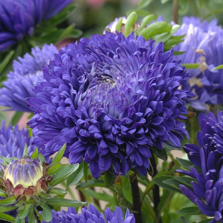 ASTER BLUEBERRY FOOL