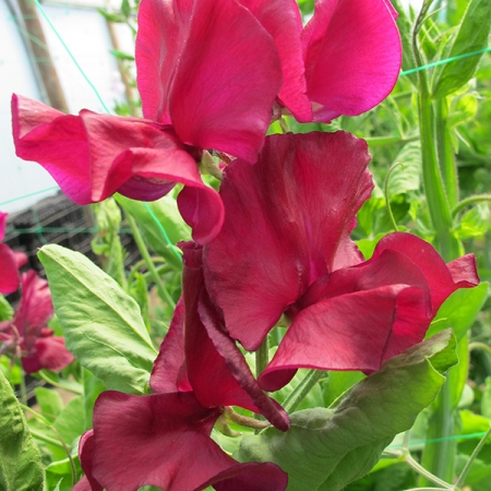 SWEET PEA MARK WILLIAMS