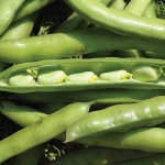 BROAD BEAN MONICA