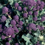 BROCCOLI EARLY PURPLE SPROUTING RED SPEAR