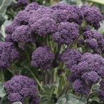 BROCCOLI PURPLE SPROUTING MENDOCINO F1