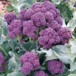 BROCCOLI PURPLE SPROUTING RIOJA F1