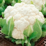 CAULIFLOWER BORIS F1