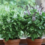 BASIL FLORAL SPIRES MIXED