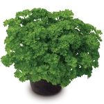 PARSLEY STARLET
